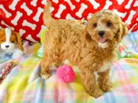 Gia is a female Cavapoo puppy. She was born 2/10/19 and