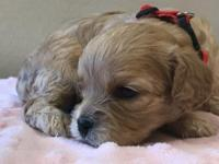 Red collar is a sweet female Cavapoo her mom and dad