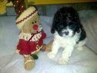 I have 1 cavapoo female puppy left for sale: 2 females