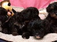 Darling little litter of 3 males, and 4 ladies.