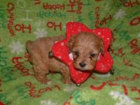 Cavapoo Puppy for Sale - Adoption, Rescue for Sale in Fort Worth