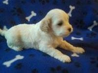 Darling new litter of Cavapoo puppies born May 16th,