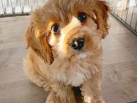 Two adorable 10 week old Cavapoo Puppies looking for