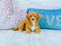Aubrey is an Awesome female Cavapoo. She loves to be