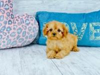 Gabriel is a Superb male Cavapoo. He has a Heart of