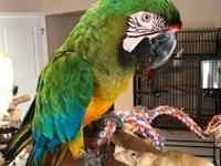 Cayden is a male hybrid macaw, believed to be a cross
