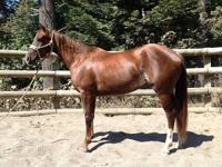"""C Shes Sassy"" (Lady) 4yo mare. Very broke, began on"
