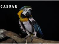 Ceasar is an adult, believed to be female B&G Macaw.