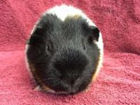Bishara and Celenia are a bonded pair of female guinea