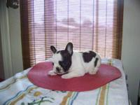 Celeste is an awesome little CKC French Bulldog. She is