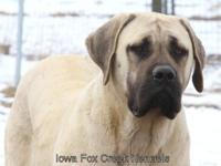 We have a beautiful fawn mastiff female that is a