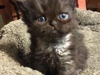 We have Persian and Himalayan Persian kittens (8 - 12