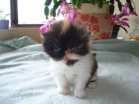 We have to offer 2 adorable baby Persian kittens. We
