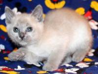 Three kittens available at this time: Blue mink female
