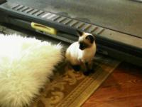 CFA registered seal point male kitten 12 weeks. Their