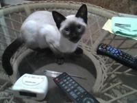 Sealpoint siamese male kitten, home raised. Health