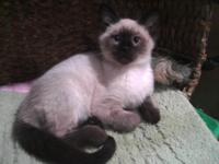 Beautiful, seal point siamese kitten 14 weeks. Mr.