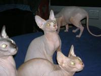 Description Bald sphynx kittens of various color and
