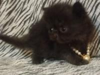I have 6 tiny CFA persian kittens that are available