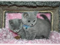 Champion Line British Shorthair Kittens, Happy,