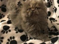 Gorgeous blue-cream female Persian kitten born