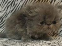 I have 6 tiny CFA persian kittens that will be