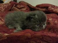 Beautiful CFA reg Blue Male Exotic Shorthair Persian ,