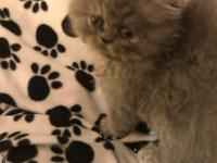 Darling blue male Persian kitten born 3-12-17. Now