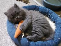 Beautiful, energetic male blue CFA Persian kitten with