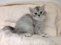 Blue tabby Persian male available. Loving temperaments