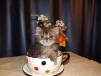 This kitten is a Blue Tabby Persian born on Wednesday,