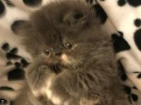 Gorgeous blue/ white tuxedo bicolor female Persian
