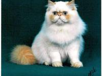 CFA champion bred doll faced (not extreme) kitten