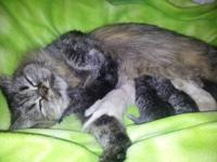 Born 5/25/12 a litter of Champion sired Persian Kittens