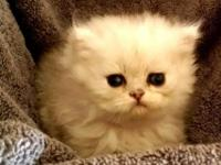 Lilly is a silver Chinchilla female Persian. Lilly has