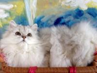 DIVINE CHINCHILLA SILVER Persian Male Kitten with CFA