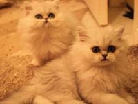 Adorable CFA Persian kittens - Chinchilla/ Silver