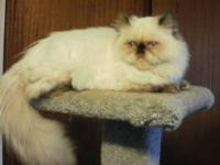 Long time experienced show breeding cattery has male