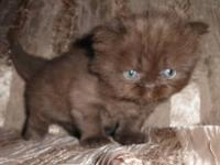 CFA registered Chocolate Male Persian Kitten, born Aug.