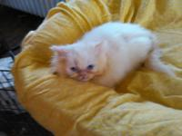 MEOW!!! I am a CFA. Reg grd chp. flame point kitten