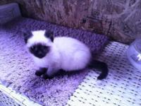 Beautiful classic applehead female kitten 12 weeks.
