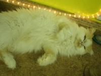 CFA registered female adult persian. She is available