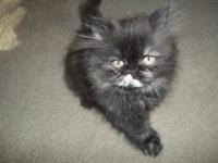 We have a female Tortie Persian kitten  11 weeks