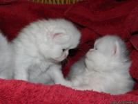 Three CFA Female White Blue-Eyed Persian Kittens