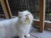 Flame point male and flame point female for sale. The
