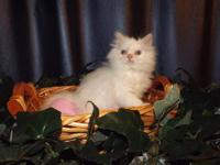 This Flame Point Himalayan female kitten was born July