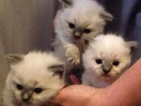 Amore Rags presently has 4 female ragdoll kittycats