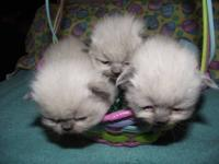 We have 2 new litters of CFA registered kittens that