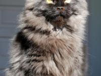 "Watch the kittens' Facebook page at ""Penny's Persians"""