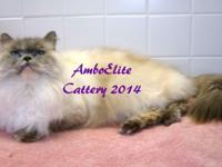 3 year old CFA registered Blue-Cream Lynx point